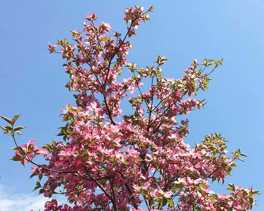 ハナミズキが咲きました イメージ